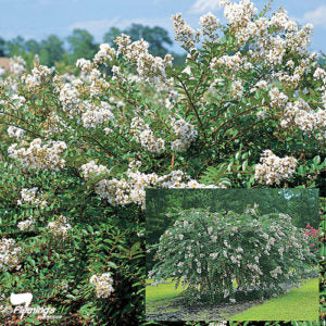 Lagerstroemia indica x L fauriel 'Acoma' Standard