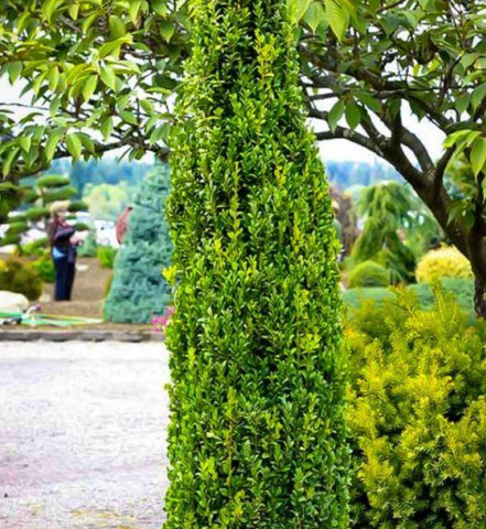 """Graham Blandy' Boxwood"