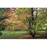 Cerdiphyllum Japonica - House of Beautiful Gardens