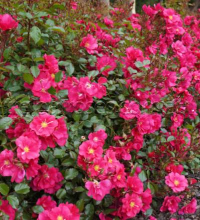Summer Fairytale Ground Cover Rose