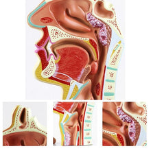 1Pcs Human Anatomical Nasal Cavity Throat Anatomy Medical Model