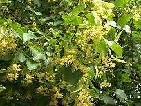 Linden Blossum 20% Essential Oil