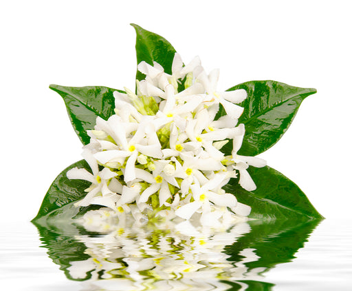 Tunisian Jasmine Imported Oil