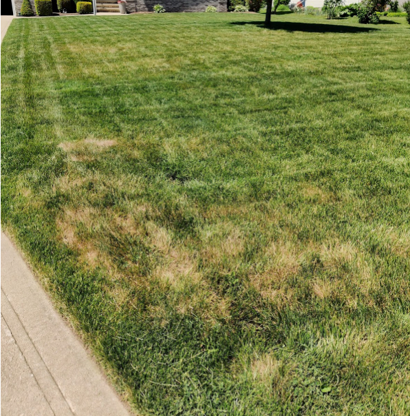 Brown Spots EVERYWHERE - Your lawn is HUNGOVER