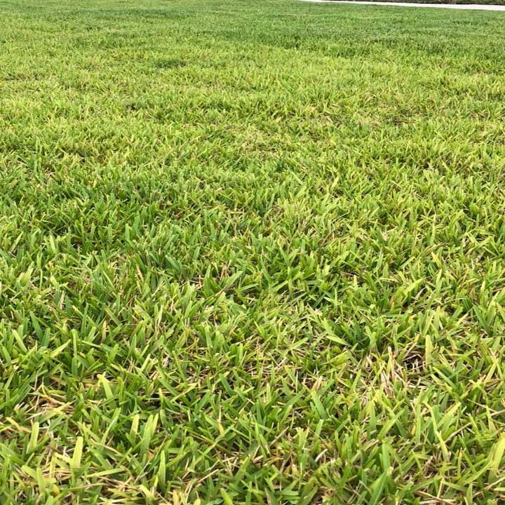 Take All Patch - Root Rot - Disease in St Augustine Grass Lawns