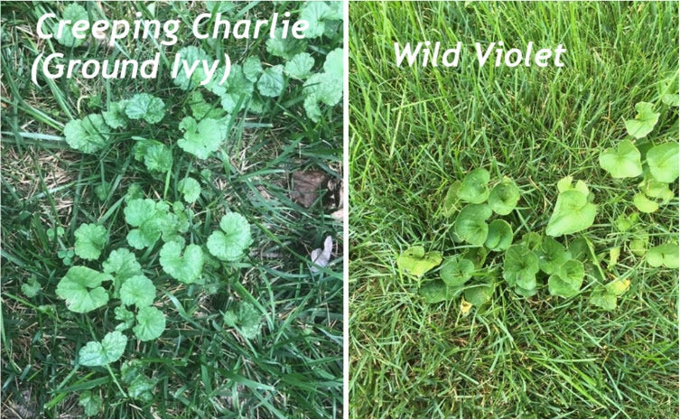 How to get Rid of Violets and Creeping Charlie In The Lawn