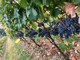 row of cabernet franc grapes at harvest