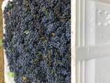 bin of cabernet sauvignon grapes at harvest