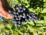 bunch of cabernet franc grapes at harvest