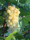 bunch of sauvignon blanc grapes at harvest