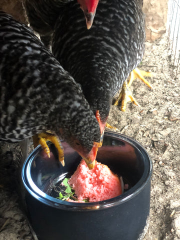 chicken eating from crystal pet bowl
