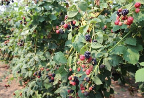 100pcs Nutritious Giant Thornless Blackbeery Antioxidant Fruit Seeds