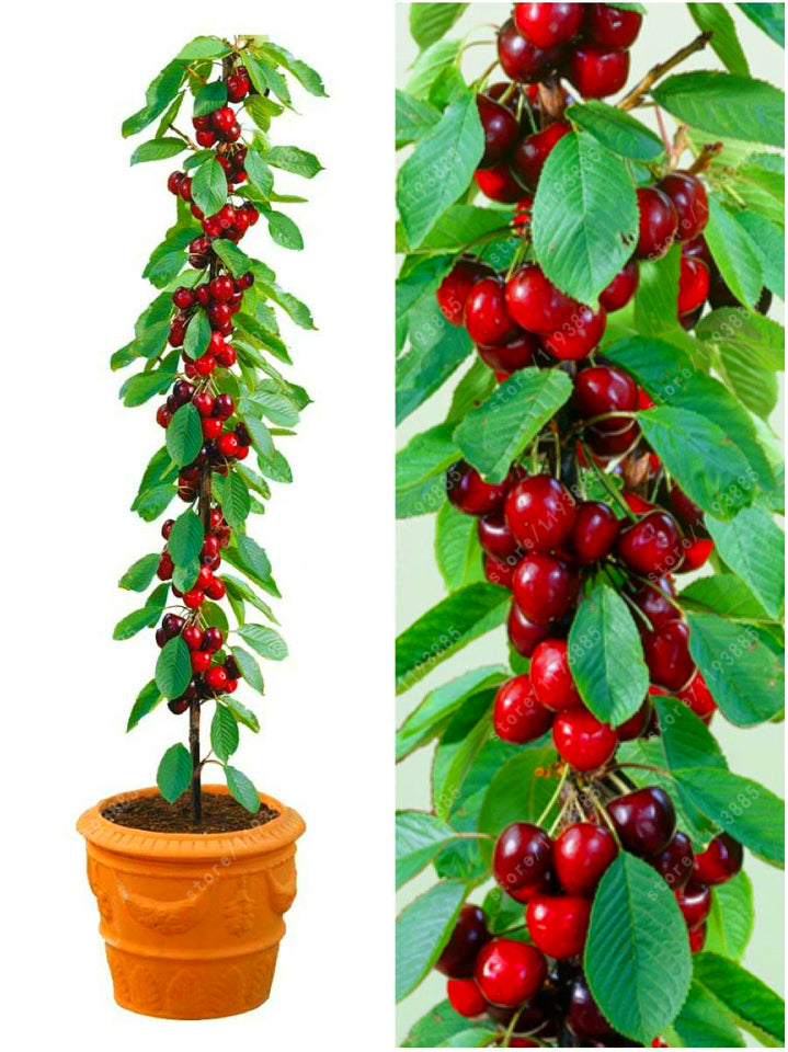 4 Kind Fruit, Bonsai Tree Seeds, Vegetable And Fruits, Garden Plants, Apple Orange Kiwi Cherry Total 100+ Seeds
