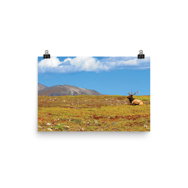 This is a photograph of an enormous resting elk looking out over a dense pasture under a bright blue sky in the Rocky Mountain National Park, Colorado. This photo shows the rich reds, greens, yellows of the earthy landscape. This poster has a partly glossy, partly matte finish and it'll add a touch of sophistication and depth to any room.
