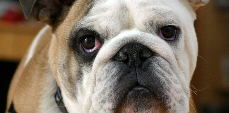 Snub-Nosed: 4 Things to Expect with Brachycephalic Breeds