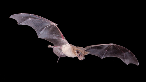 A Mexican free-tailed bat is in flight. Credit: Bruce D. Taubert/Minden Pictures /Bat Conservation International