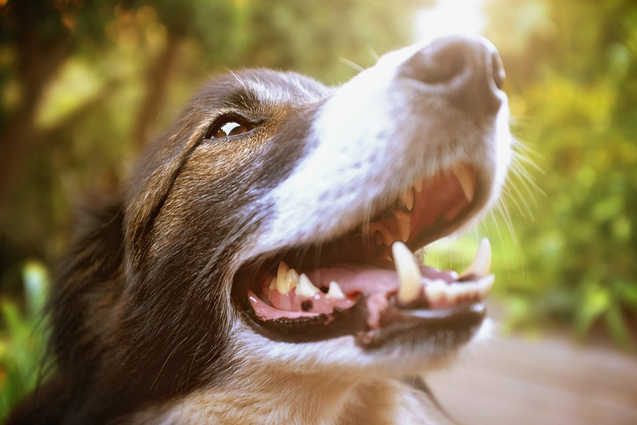 Anesthesia Free Dog Teeth Cleaning Austin