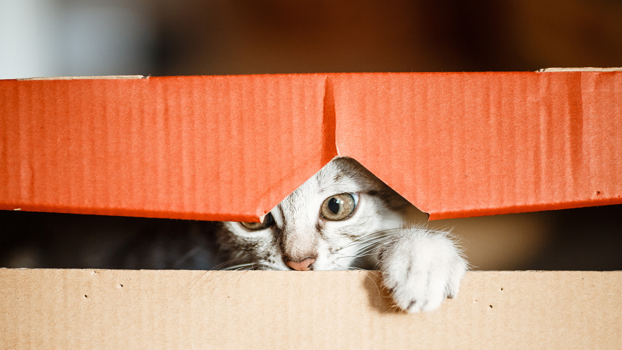 Cat playing in a cardboard box