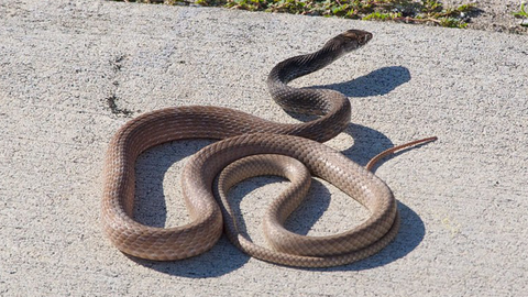 Coachwhip - Photo by Peter & Michelle S