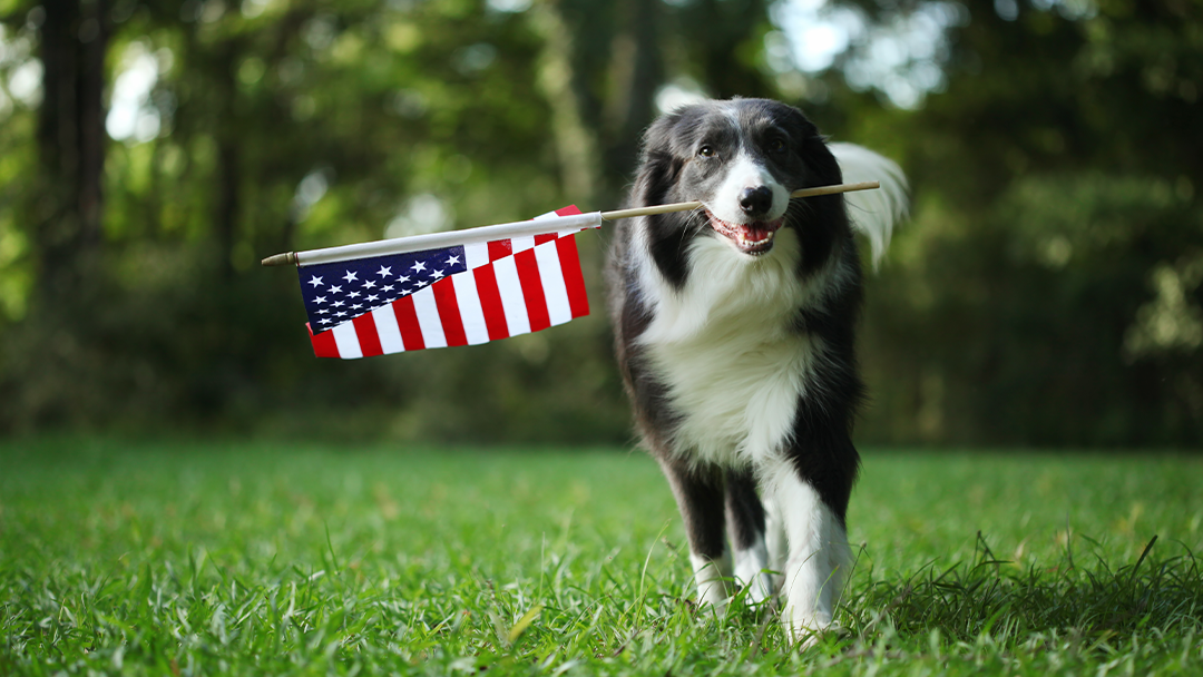 Dog outside with American Flag