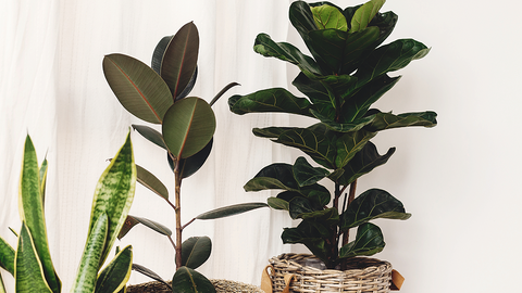 FLF and Rubber Tree