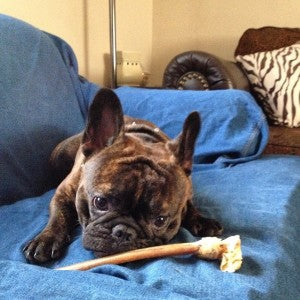 Issues with Brachycephalic Dogs