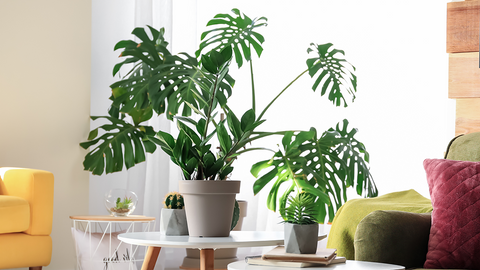 Monstera Plant Central Texas