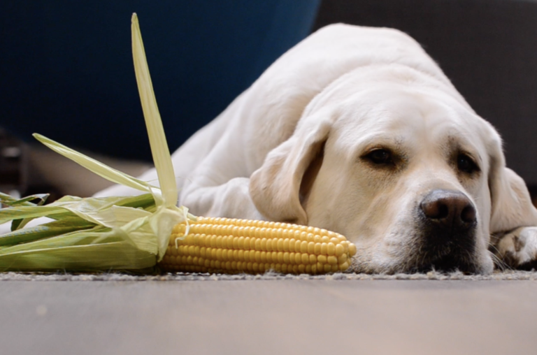Dogs and Corn