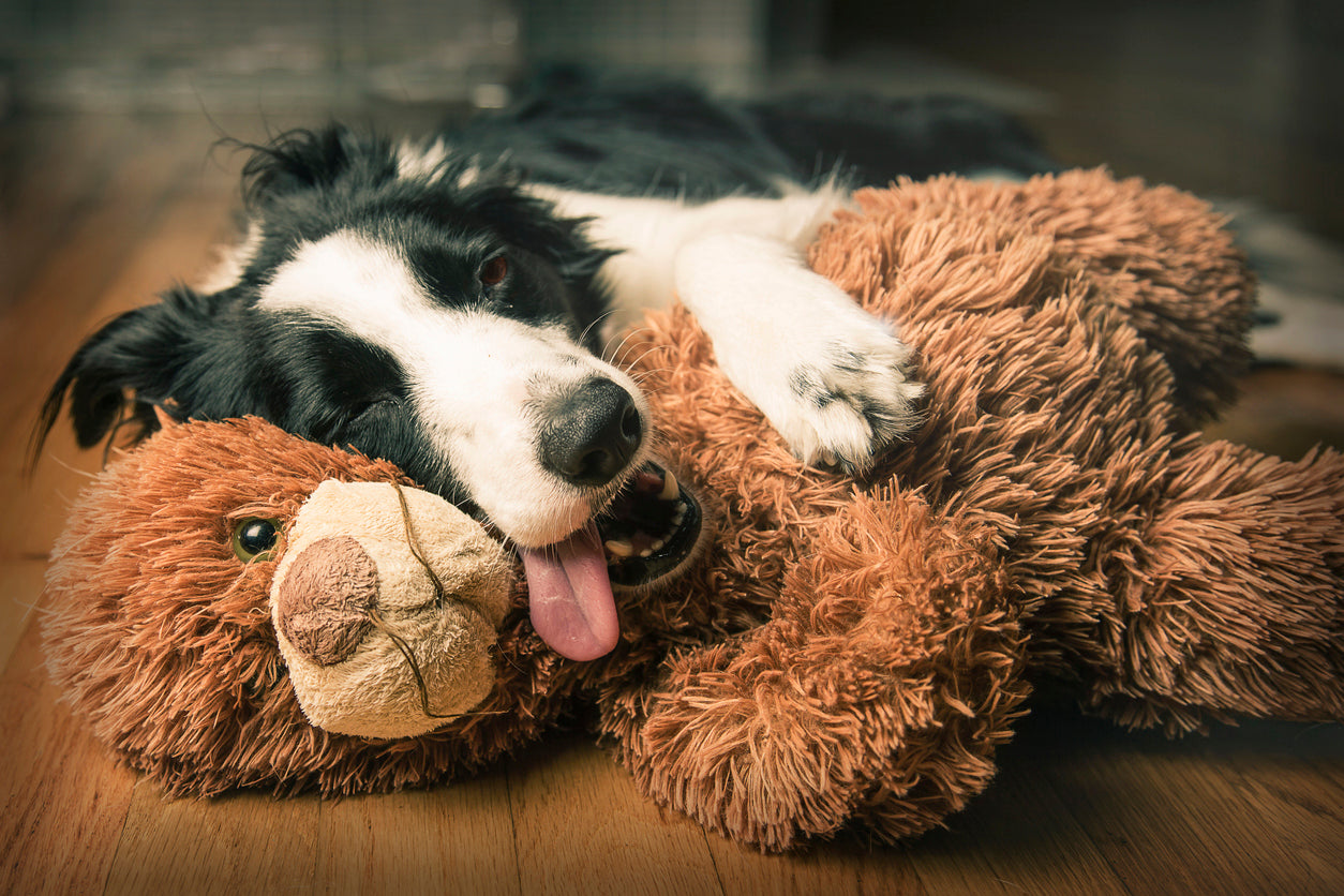 Tired happy Border Collie dog