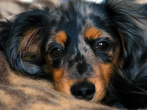 dachshund_puppy_by_polovets