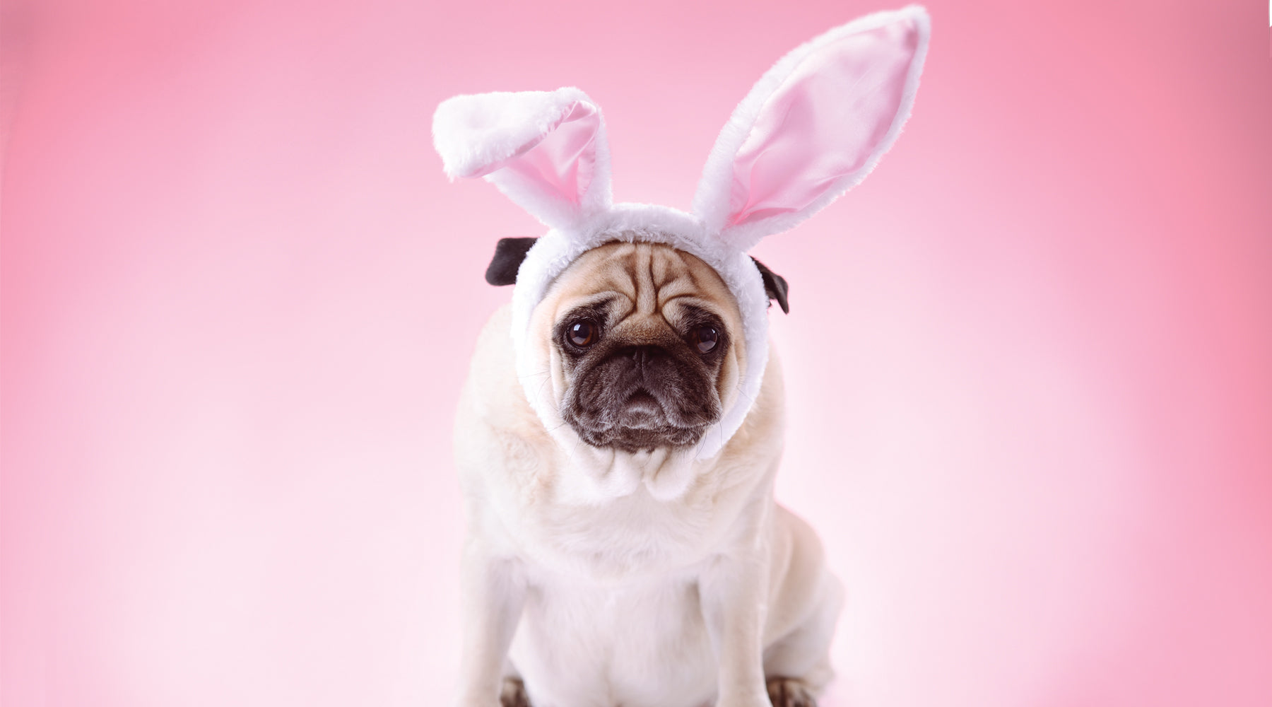 Pug dressed up with bunny ears
