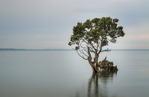 Why we need to save Westernport Bay from AGL. - image of a mangrove tree standing alone in the middle of a very smooth and flat, silver-blue bay with a blue-gry sky in the background