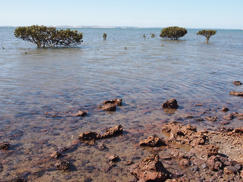 Why we need to save Westernport Bay from AGL. Image of several mangrove trees stationed in the sea in the background and a rocky foreshore in the foreground