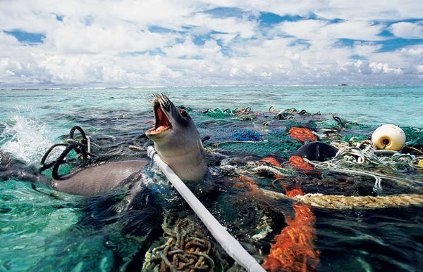 Our journey to creating a plastic-free life - a seal struggles in a mess of fishing ropes and nets with its mouth open, as if calling out