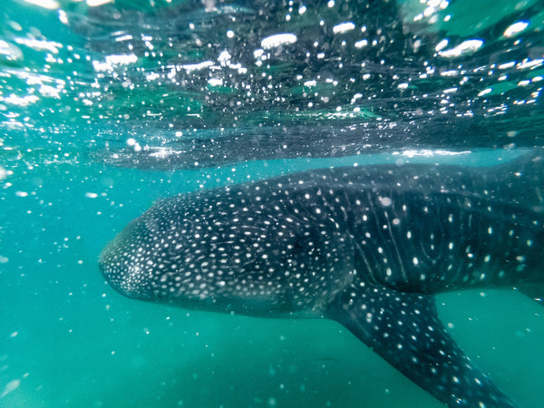 Our favourite places to wear SunButter sunscreen. Image of a whale shark underwater.