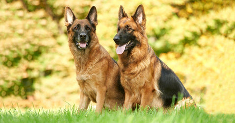 13 Reasons Why I Own A German Shepherd