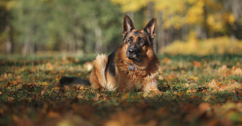 13 Things Your German Shepherd Wants You To Know