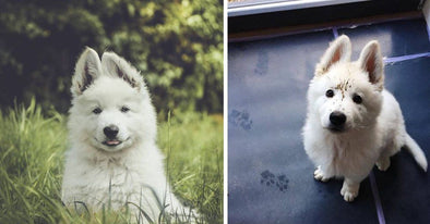 15 Of The Most Adorable White German Shepherd Puppies Ever