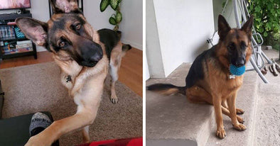 16 Things German Shepherds Do When They Are Trying To Tell You Something
