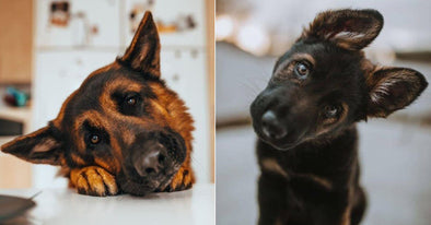 "17 Adorable Photos Of German Shepherds Showing Off Their ""Head-Tilting"" Skills"