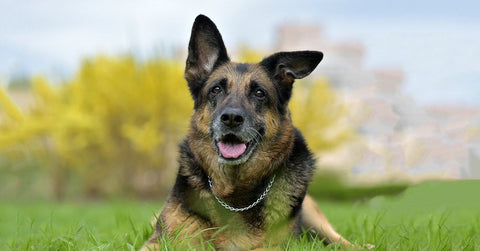 5 Things To Look At Before Adding A German Shepherd To Your Family