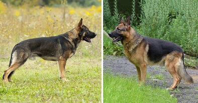 Different Types of German Shepherds, Which Is Right For You?