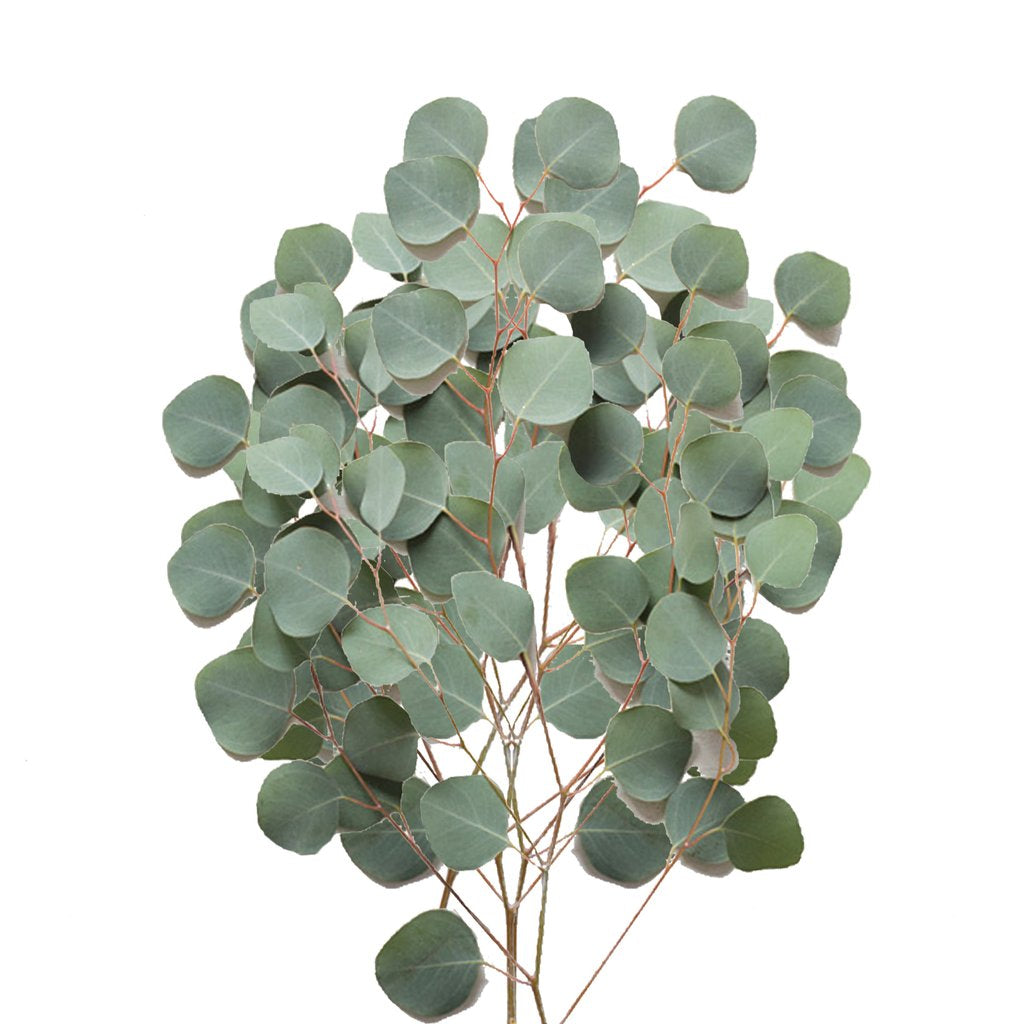 Dollar Eucalyptus Wholesale