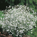 Baby's Breath Bulk - Wild Little Roses