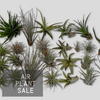 Air Plants, large