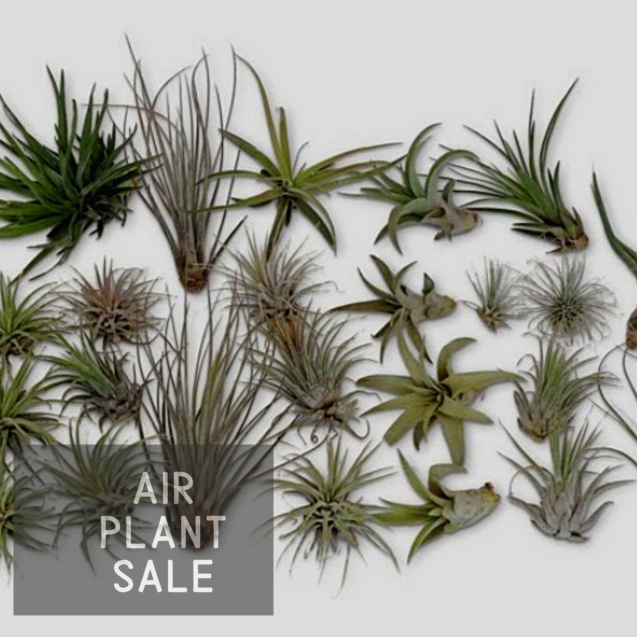 Air Plants Small