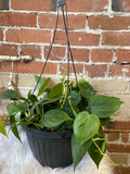 "Philodendron Cordatum, 10"" hanging basket"
