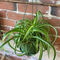 Spider plant - curly