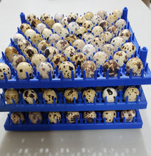 50 Jumbo Coturnix Hatching Eggs