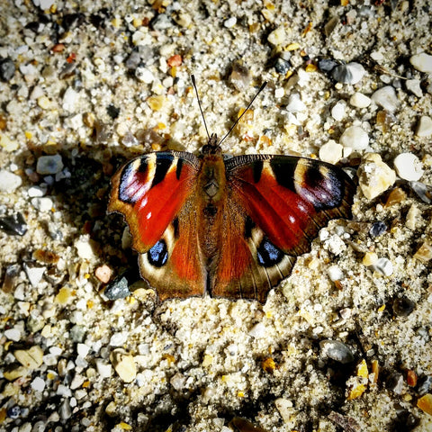 Orange Butterfly picture photograph